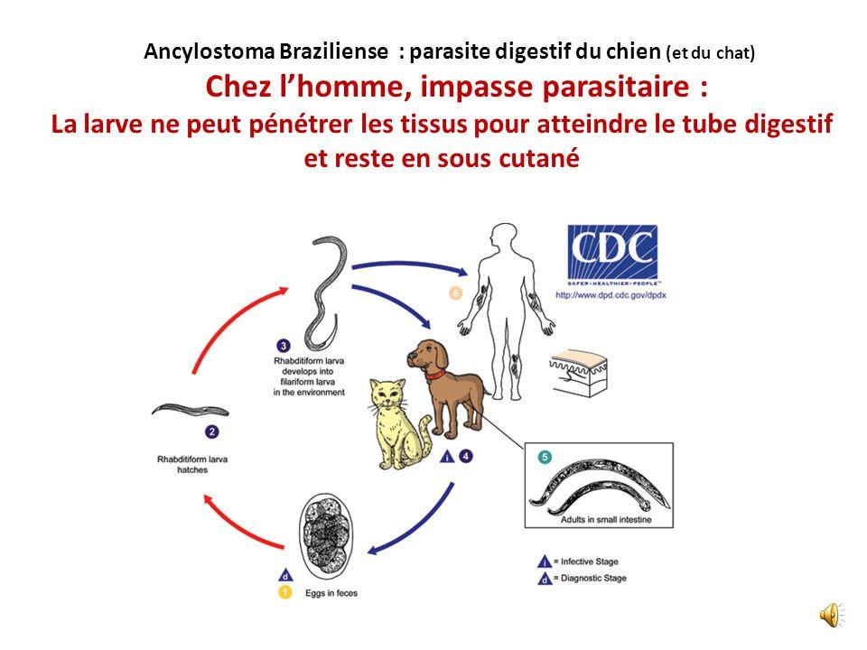 Ce n'est pas une bactérie Ce n'est pas une méduse Ce n'est pas une filaire C'est un parasite digestif ! Parasite digestif du chien ! LARVA MIGRANS CUT