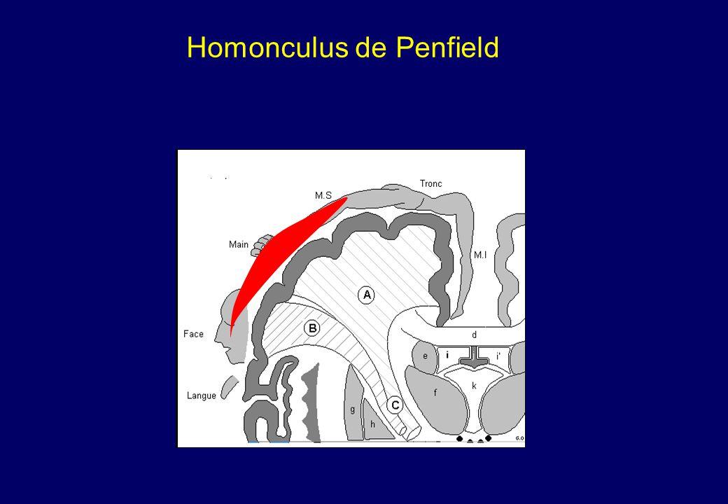 Homonculus de Penfield