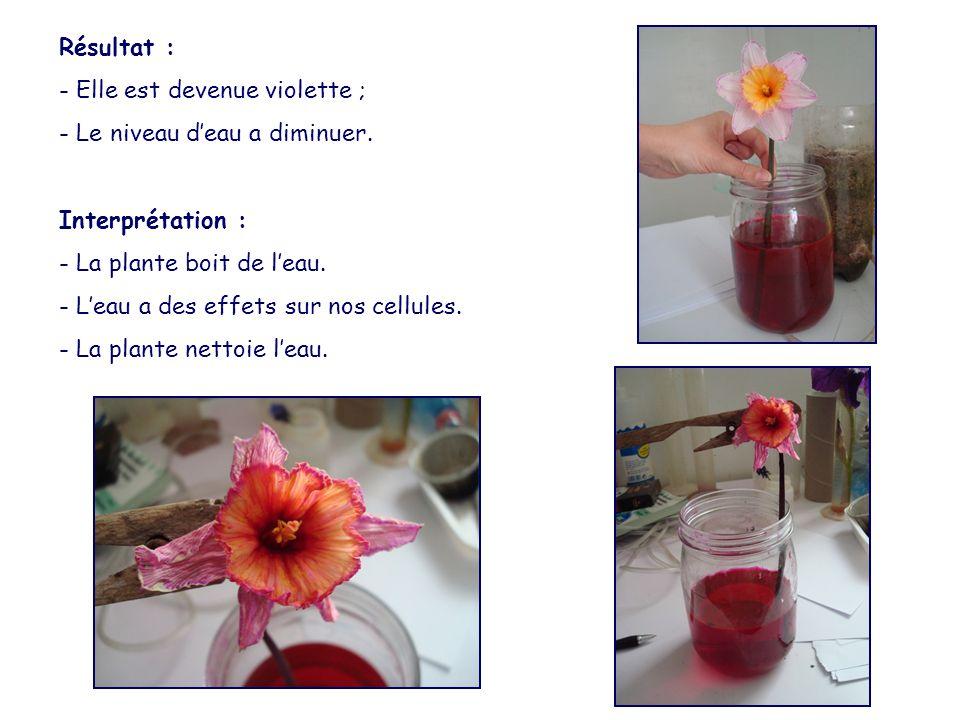 Résultat : - Elle est devenue violette ; - Le niveau d'eau a diminuer. Interprétation : - La plante boit de l'eau. - L'eau a des effets sur nos cellul