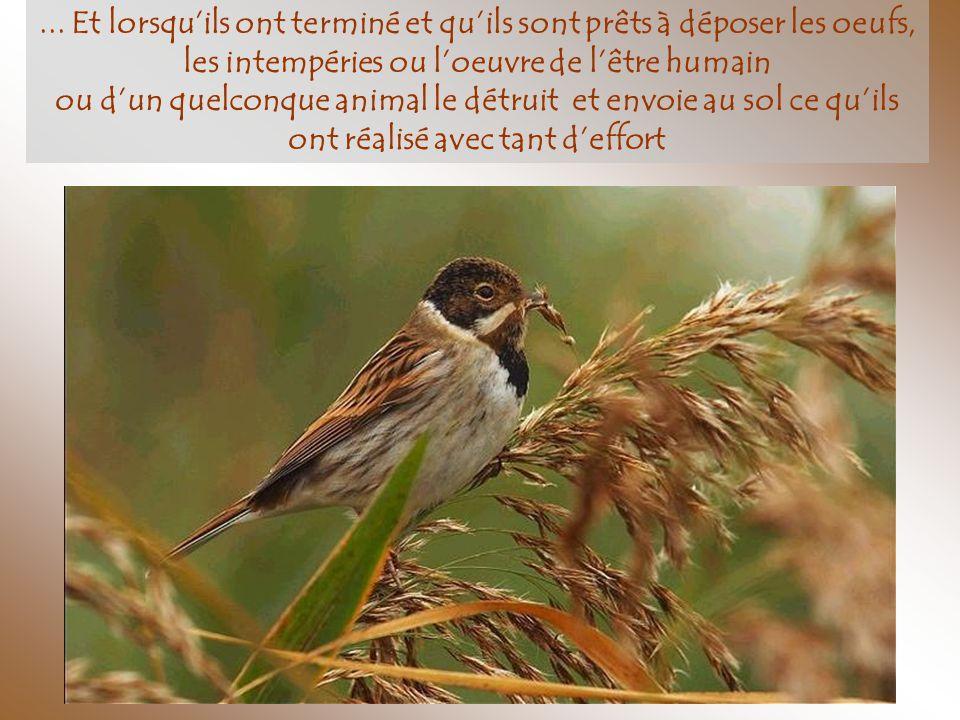 Pendant des jours et des jours ils font leur nid, recueillant des matériaux parfois ramenés de très loin…