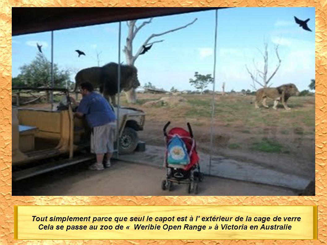 Tout simplement parce que seul le capot est à l extérieur de la cage de verre Cela se passe au zoo de « Weribie Open Range » à Victoria en Australie