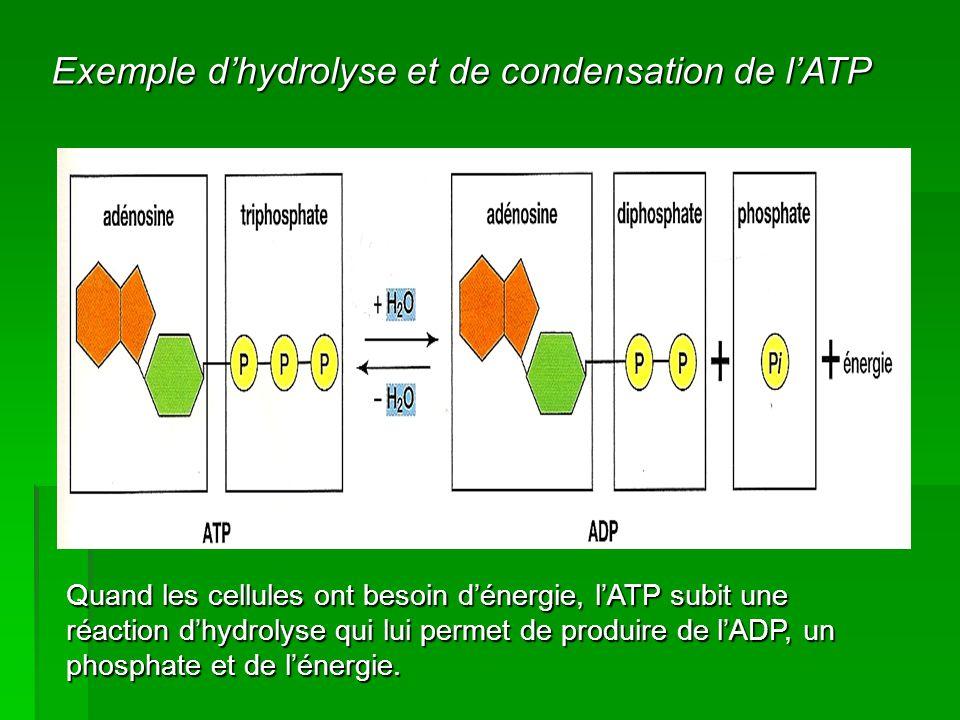 Exemple d'hydrolyse et de condensation de l'ATP Quand les cellules ont besoin d'énergie, l'ATP subit une réaction d'hydrolyse qui lui permet de produi