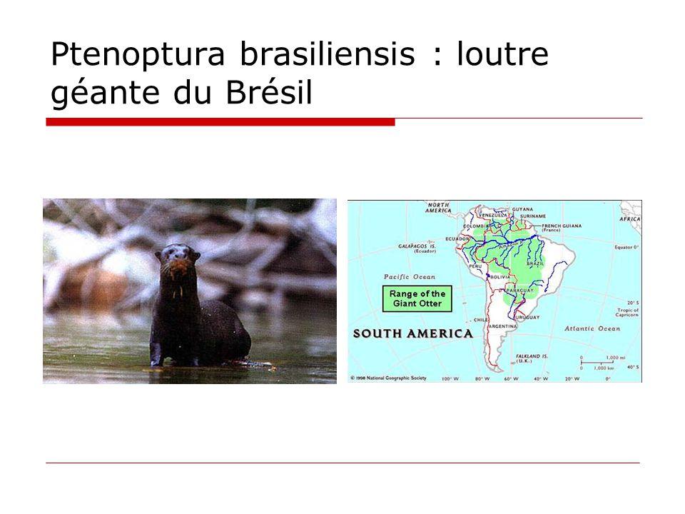 Ptenoptura brasiliensis : loutre géante du Brésil