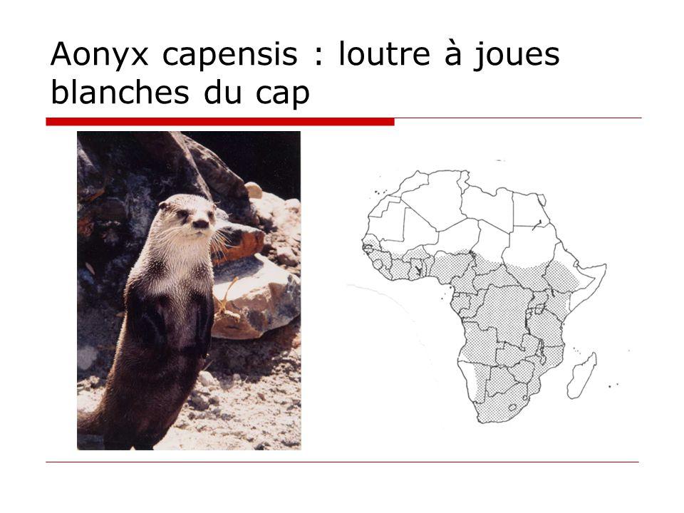 Aonyx capensis : loutre à joues blanches du cap
