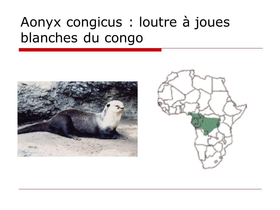 Aonyx congicus : loutre à joues blanches du congo