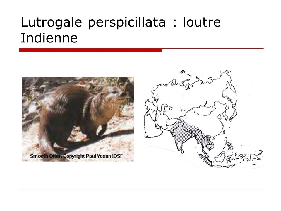 Lutrogale perspicillata : loutre Indienne