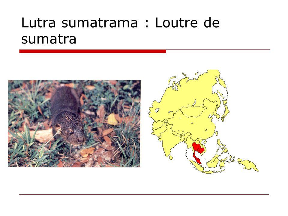 Lutra sumatrama : Loutre de sumatra