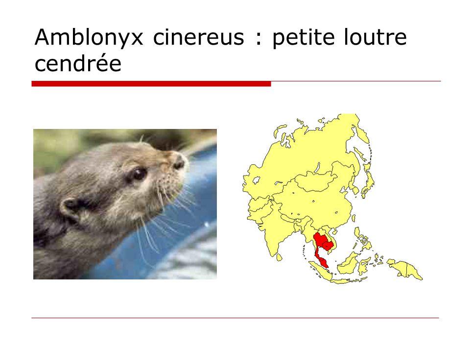 Amblonyx cinereus : petite loutre cendrée