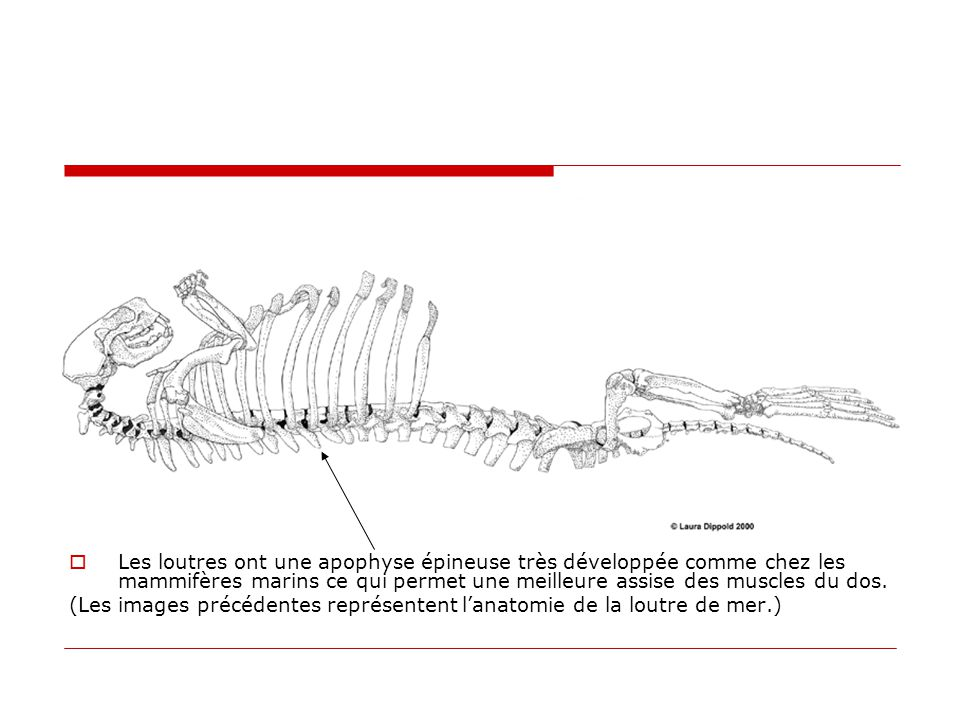  Les loutres ont une apophyse épineuse très développée comme chez les mammifères marins ce qui permet une meilleure assise des muscles du dos. (Les i