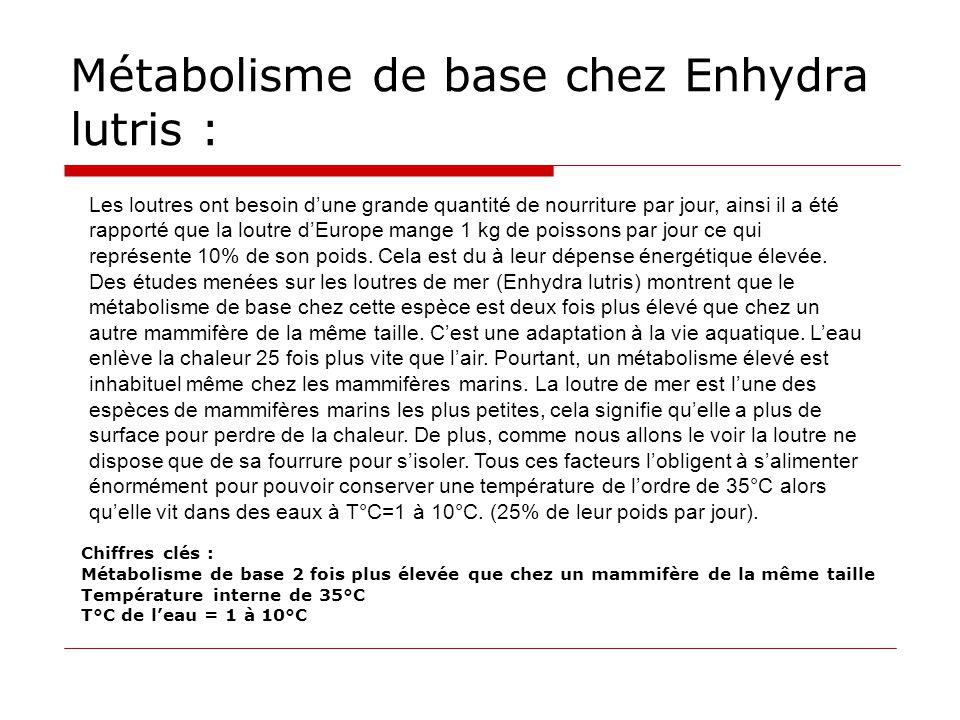 Métabolisme de base chez Enhydra lutris : Chiffres clés : Métabolisme de base 2 fois plus élevée que chez un mammifère de la même taille Température i