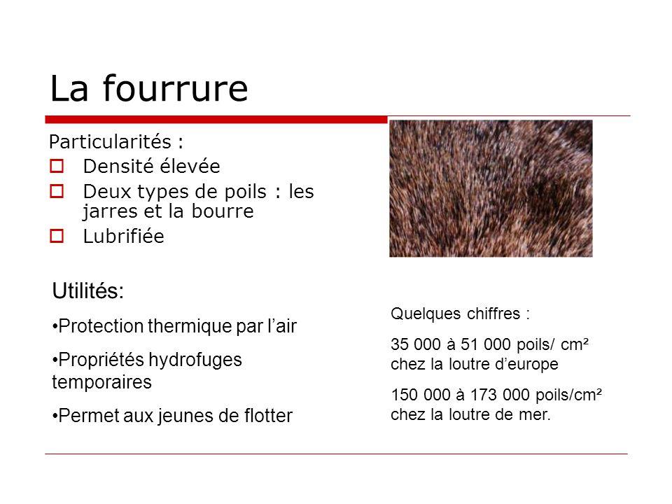 La fourrure Particularités :  Densité élevée  Deux types de poils : les jarres et la bourre  Lubrifiée Utilités: •Protection thermique par l'air •P