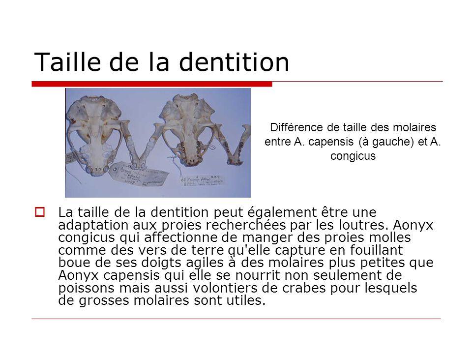 Taille de la dentition  La taille de la dentition peut également être une adaptation aux proies recherchées par les loutres. Aonyx congicus qui affec