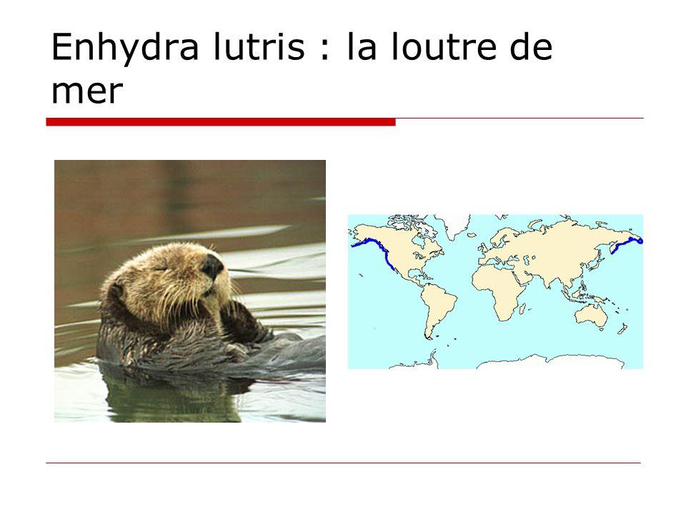 Enhydra lutris : la loutre de mer