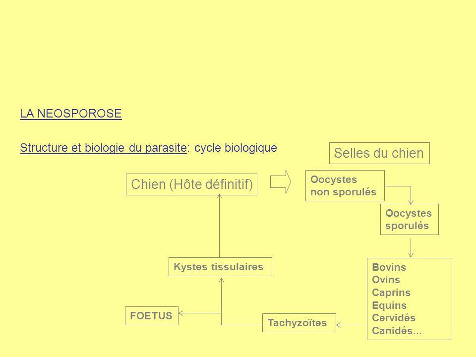 LA NEOSPOROSE Structure et biologie du parasite: cycle biologique Chien (Hôte définitif) Oocystes non sporulés Oocystes sporulés Bovins Ovins Caprins