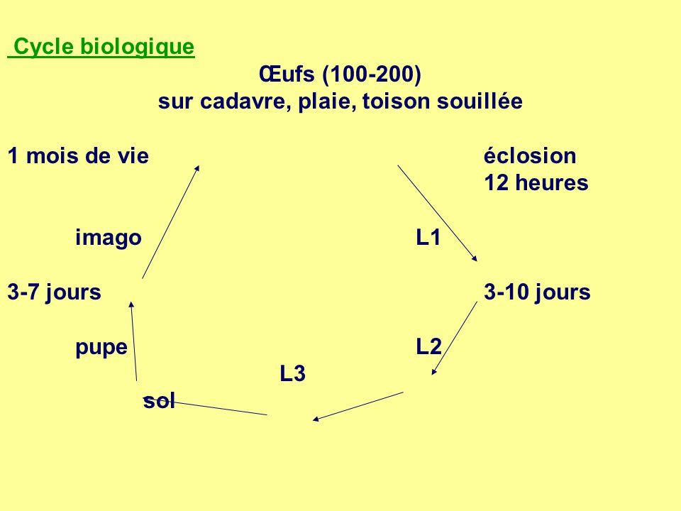 Cycle biologique Œufs (100-200) sur cadavre, plaie, toison souillée 1 mois de vieéclosion 12 heures imagoL1 3-7 jours3-10 jours pupeL2 L3 sol