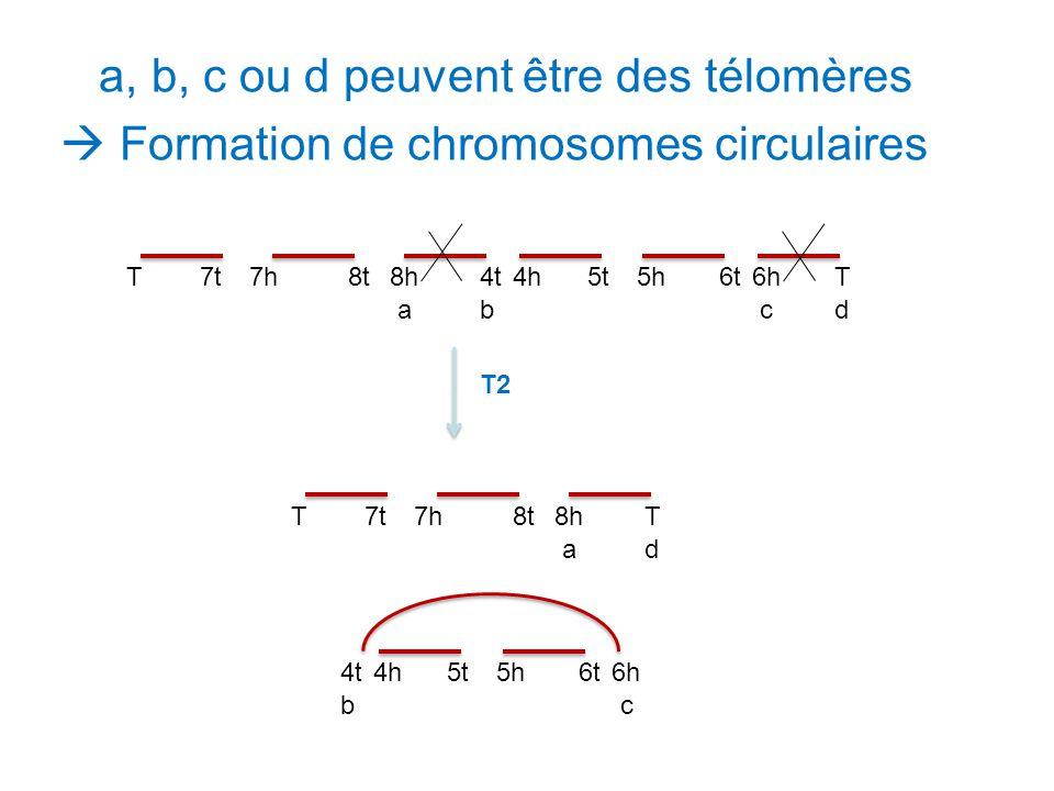 a, b, c ou d peuvent être des télomères  Formation de chromosomes circulaires 7h8t8h4t4h5t5h6t7tT6hT abcd T2 7h8t8hT7tT ad 4t4h5t5h6t6h bc