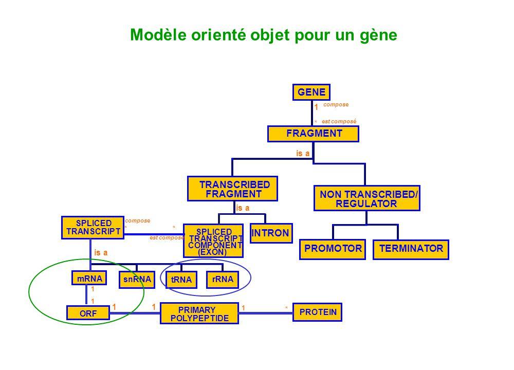 FRAGMENT GENE PROMOTOR TERMINATOR TRANSCRIBED FRAGMENT NON TRANSCRIBED/ REGULATOR is a PROTEIN 1 * est composé compose Modèle orienté objet pour un gè
