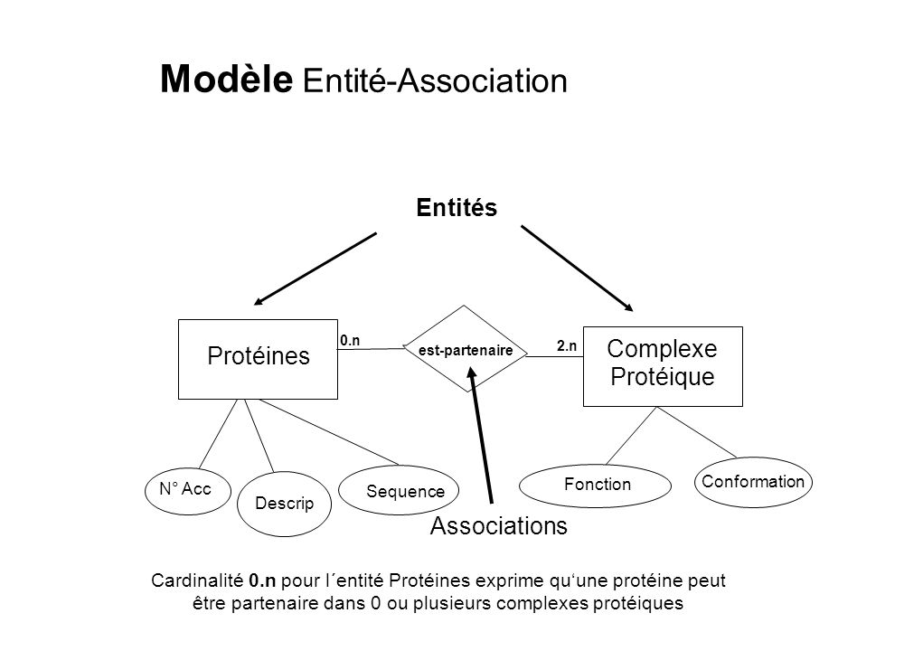 Modèle Entité-Association Protéines N° Acc Descrip Sequence est-partenaire Complexe Protéique Fonction Conformation Entités Associations 0.n 2.n Cardi