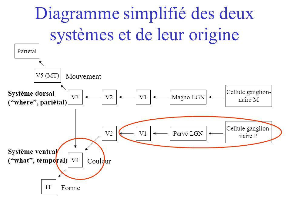 Cellule ganglion- naire M Cellule ganglion- naire P Magno LGN Parvo LGNV1 V2V3 V2 V5 (MT) Pariétal V4 IT Couleur Forme Mouvement Diagramme simplifié des deux systèmes et de leur origine Système ventral ( what , temporal) Système dorsal ( where , pariétal)