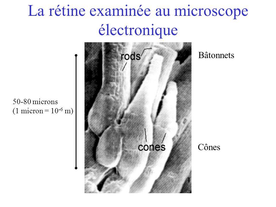 La rétine examinée au microscope électronique Cônes Bâtonnets 50-80 microns (1 micron = 10 -6 m)