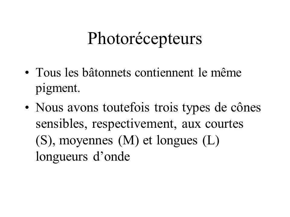 Photorécepteurs •Tous les bâtonnets contiennent le même pigment. •N ous avons toutefois trois types de cônes sensibles, respectivement, aux courtes (S