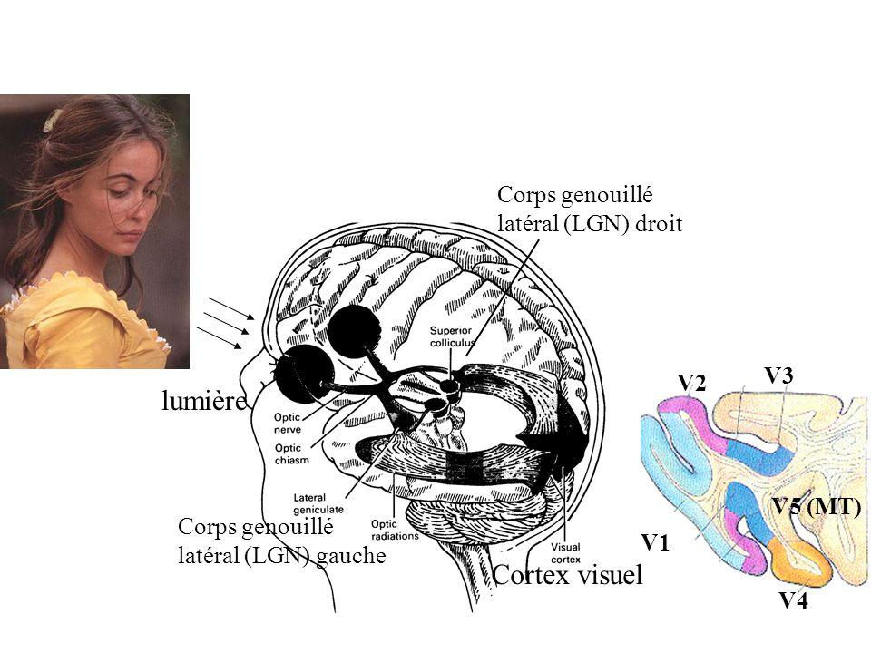 V4 V1 V2 V3 V5 (MT) lumière Corps genouillé latéral (LGN) gauche Corps genouillé latéral (LGN) droit Cortex visuel