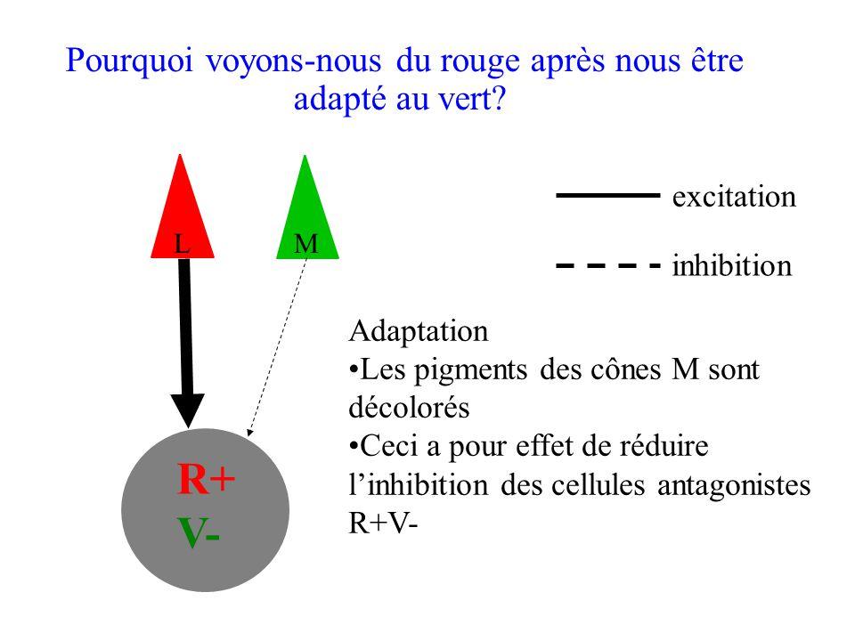 R+ V- excitation inhibition Adaptation •Les pigments des cônes M sont décolorés •Ceci a pour effet de réduire l'inhibition des cellules antagonistes R+V- Pourquoi voyons-nous du rouge après nous être adapté au vert.
