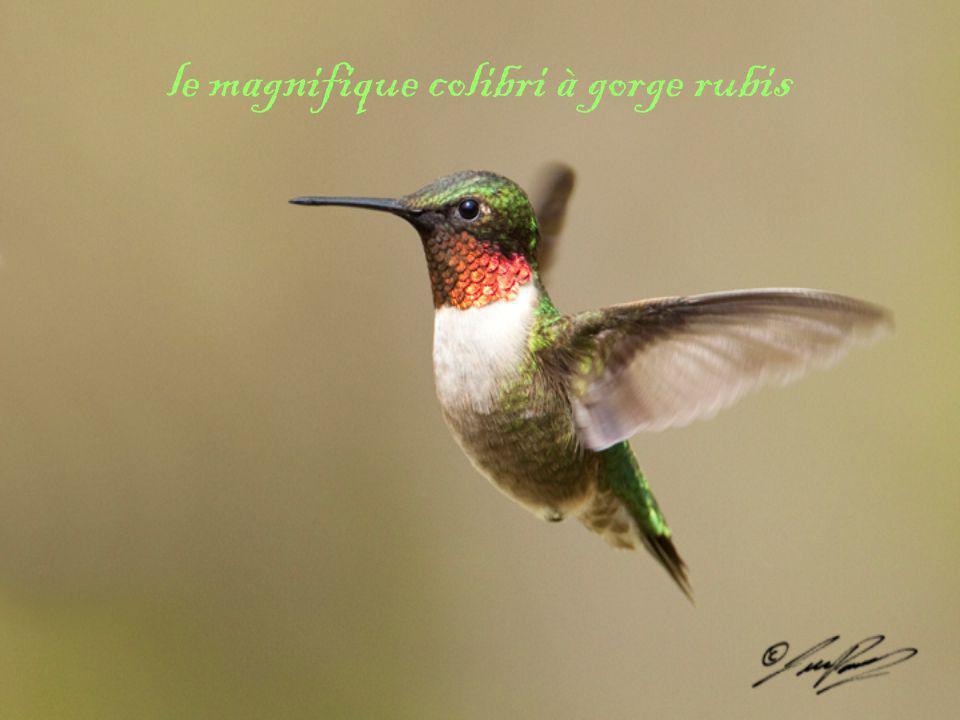 le magnifique colibri à gorge rubis