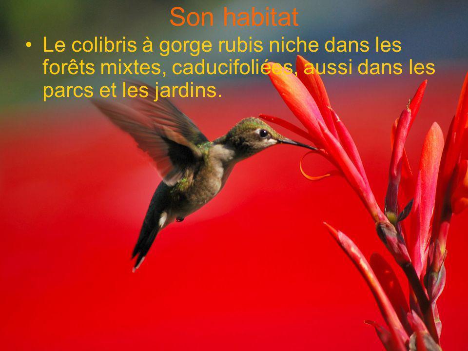 Son habitat •Le colibris à gorge rubis niche dans les forêts mixtes, caducifoliées, aussi dans les parcs et les jardins.