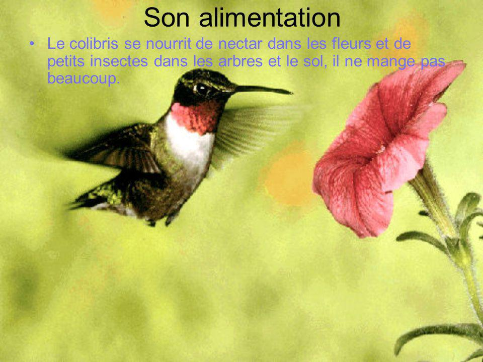 Son alimentation •Le colibris se nourrit de nectar dans les fleurs et de petits insectes dans les arbres et le sol, il ne mange pas beaucoup.