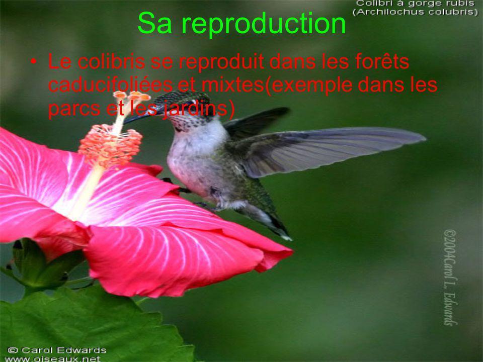 Sa reproduction •Le colibris se reproduit dans les forêts caducifoliées et mixtes(exemple dans les parcs et les jardins)