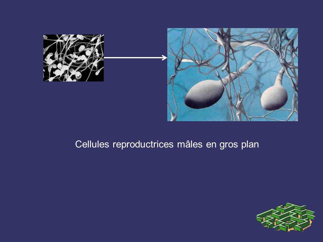 Cellules reproductrices mâles en gros plan