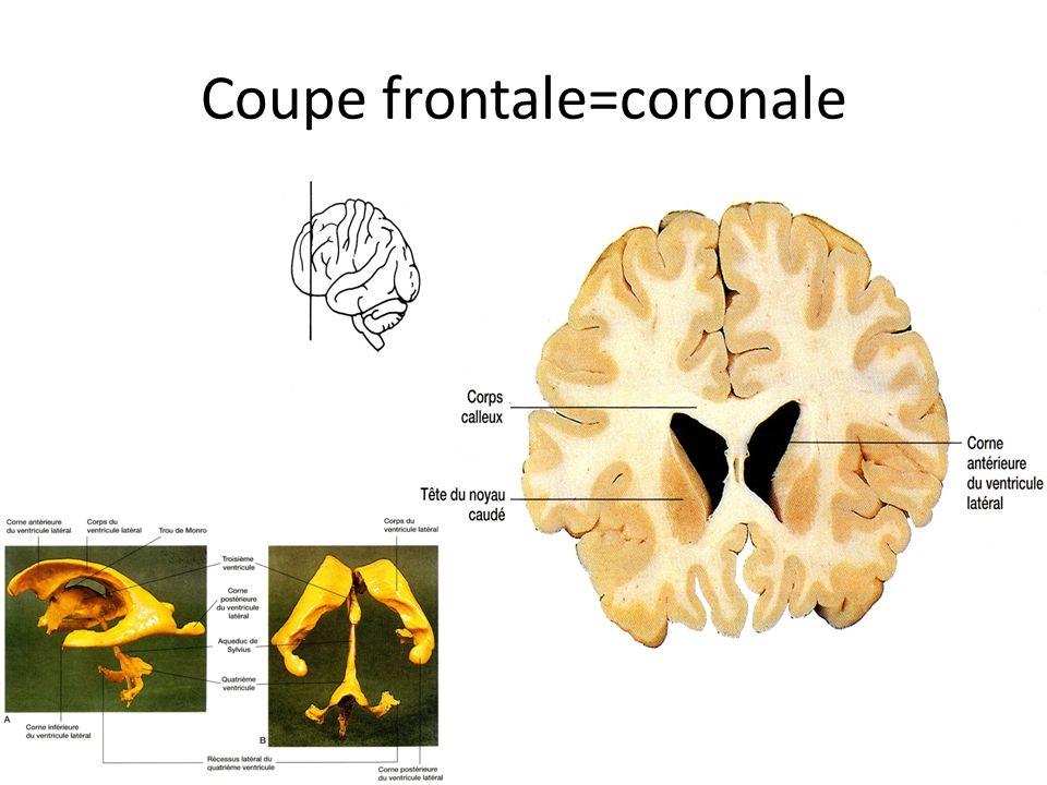 Coupe frontale=coronale