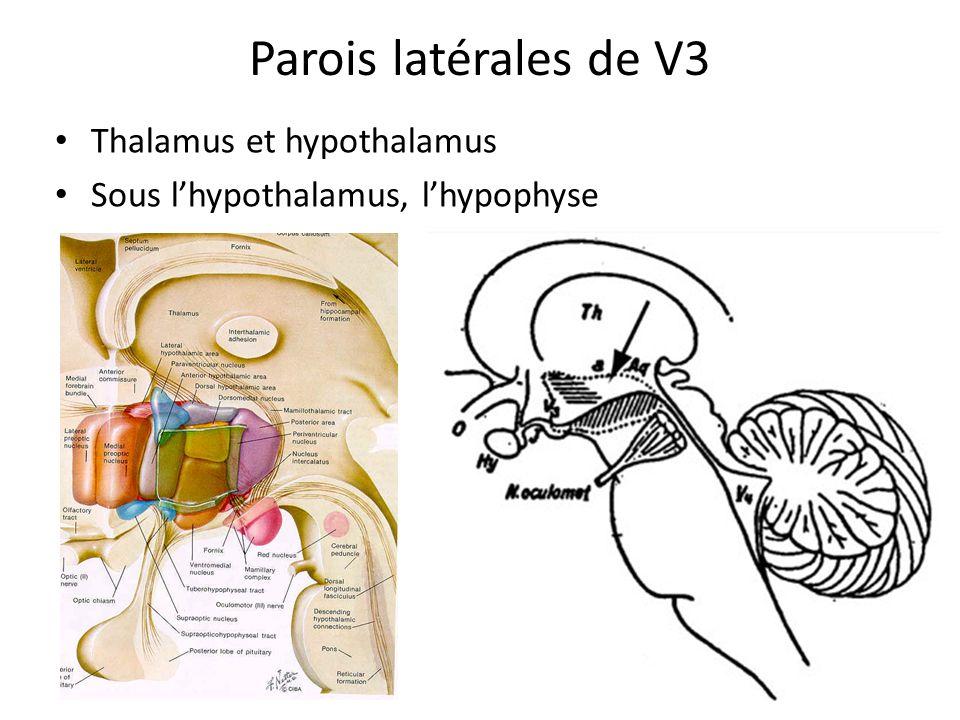 Parois latérales de V3 • Thalamus et hypothalamus • Sous l'hypothalamus, l'hypophyse