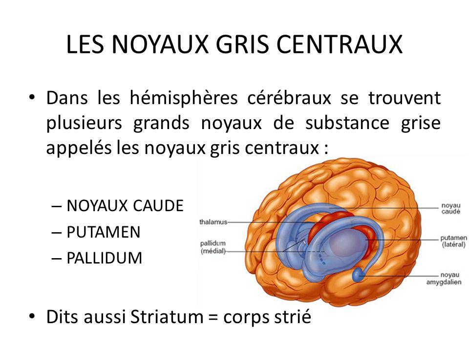 LES NOYAUX GRIS CENTRAUX • Dans les hémisphères cérébraux se trouvent plusieurs grands noyaux de substance grise appelés les noyaux gris centraux : –