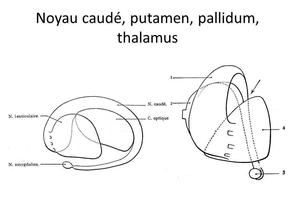 Noyau caudé, putamen, pallidum, thalamus