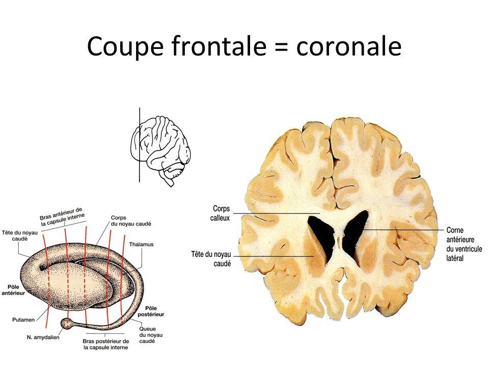 Coupe frontale = coronale