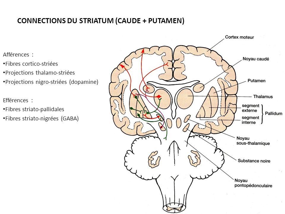 CONNECTIONS DU STRIATUM (CAUDE + PUTAMEN) Afférences : • Fibres cortico-striées • Projections thalamo-striées • Projections nigro-striées (dopamine) E