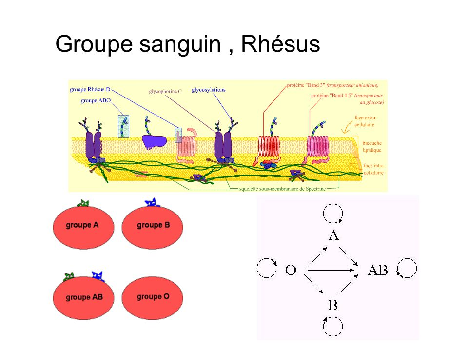 Groupe sanguin, Rhésus