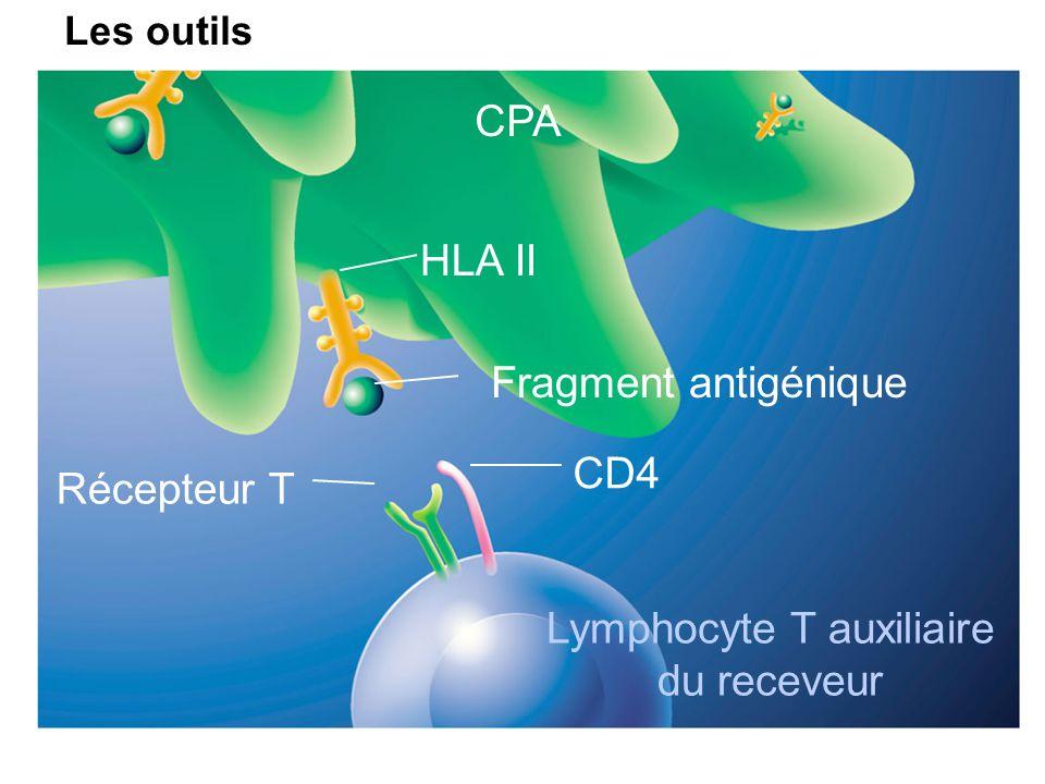 Récepteur T Lymphocyte T auxiliaire du receveur CD4 HLA II Fragment antigénique CPA Schémas proposés par les Laboratoires Novartis Les outils
