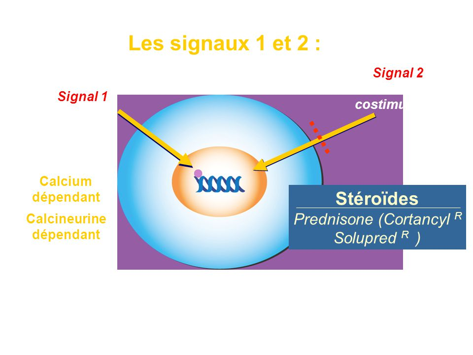 Les signaux 1 et 2 : Signal 2 de costimulation Calcium dépendant Fixation des facteurs de transcription AP-1 et NF-  B sur les promoteurs de gènes de