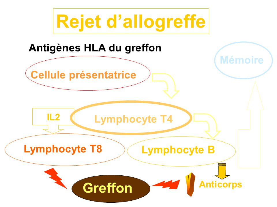 Antigènes HLA du greffon Cellule présentatrice Lymphocyte T4 Lymphocyte B Greffon Rejet d'allogreffe Mémoire Lymphocyte T8 IL2 Anticorps