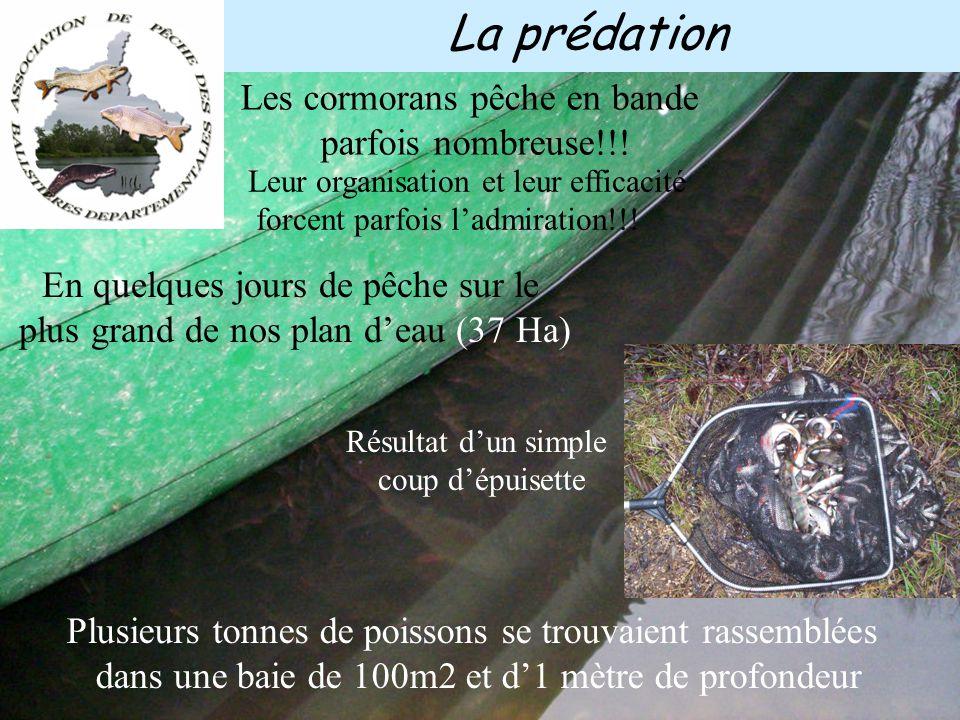 La prédation 400 gr en moyenne par cormoran et par jours Hiver 2004-2005, se sont jusqu'à 300 oiseaux qui ont hivernés de mi octobre à début avril. Un