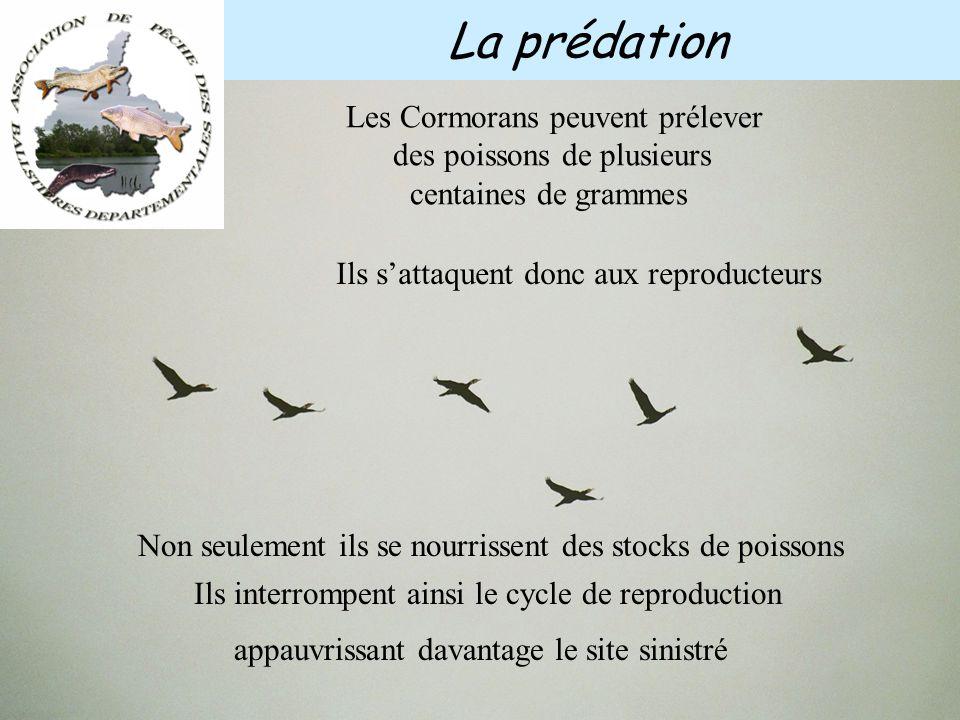 Ces concentrations de poissons détournent d'autres oiseaux qui ne sont pas exclusivement piscivore Les grèbes, les hérons, les mouettes, Mais aussi le