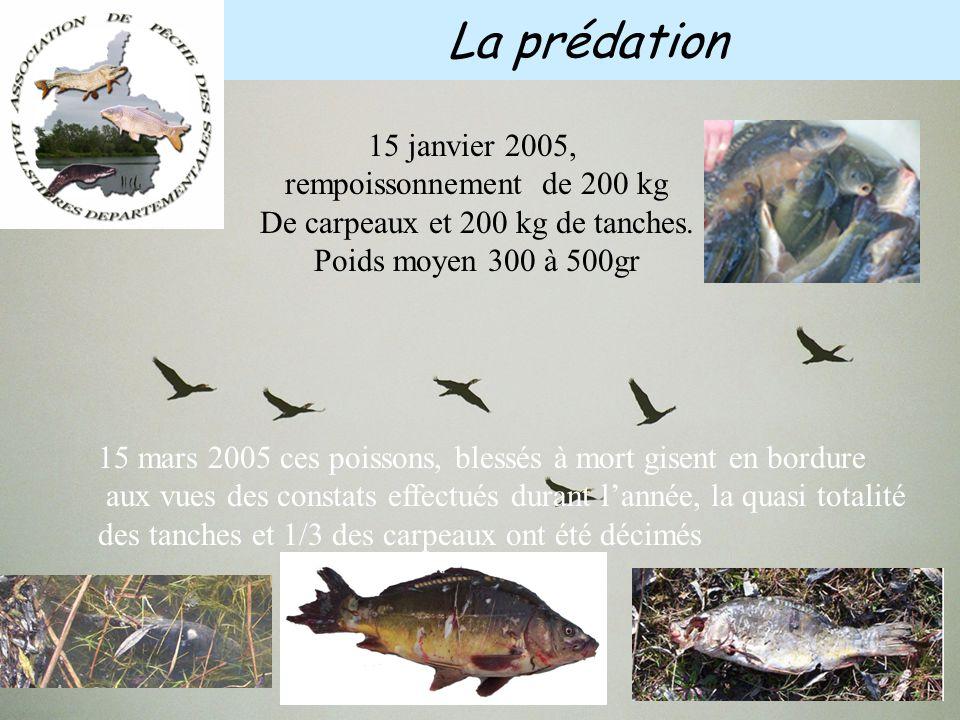 Les Cormorans peuvent prélever des poissons de plusieurs centaines de grammes Ils s'attaquent donc aux reproducteurs Non seulement ils se nourrissent