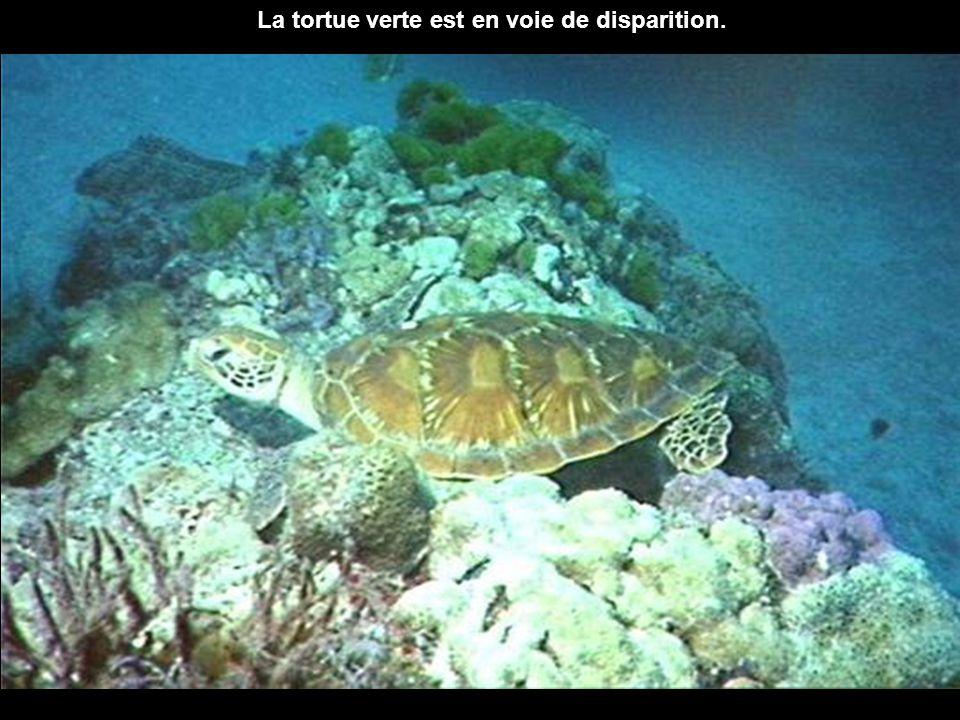 La tortue verte est en voie de disparition.