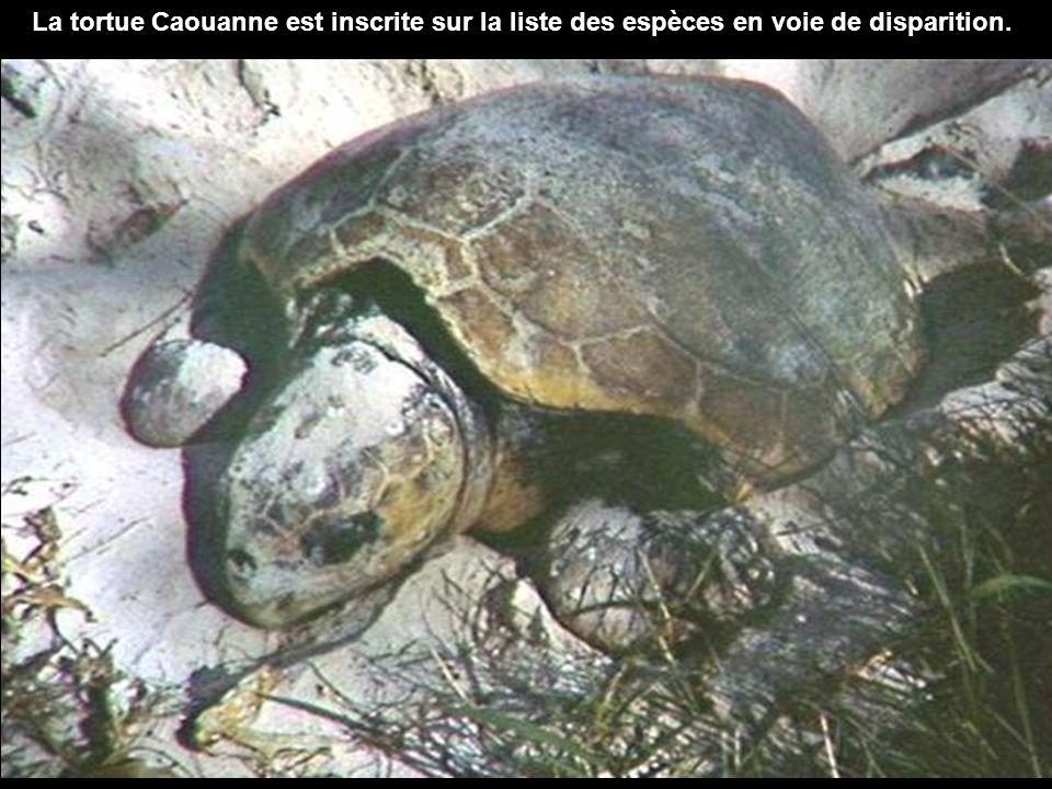 La tortue Caouanne est inscrite sur la liste des espèces en voie de disparition.