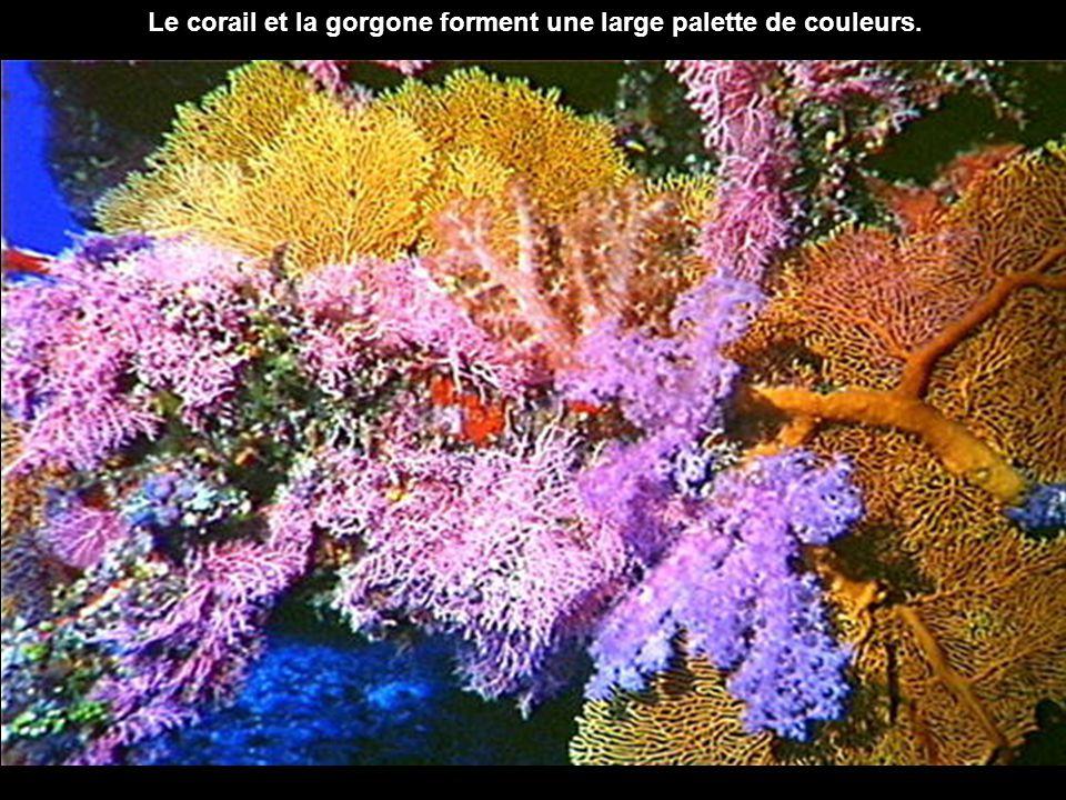 Le corail et la gorgone forment une large palette de couleurs.