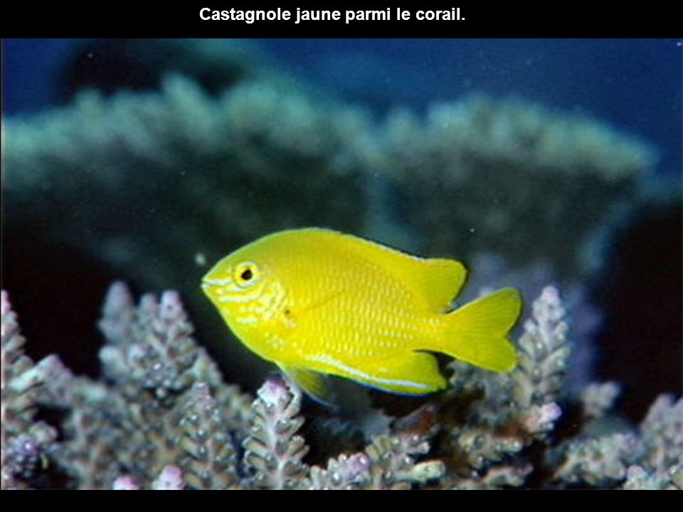 Castagnole jaune parmi le corail.