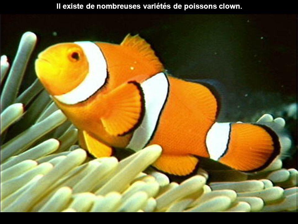 Il existe de nombreuses variétés de poissons clown.